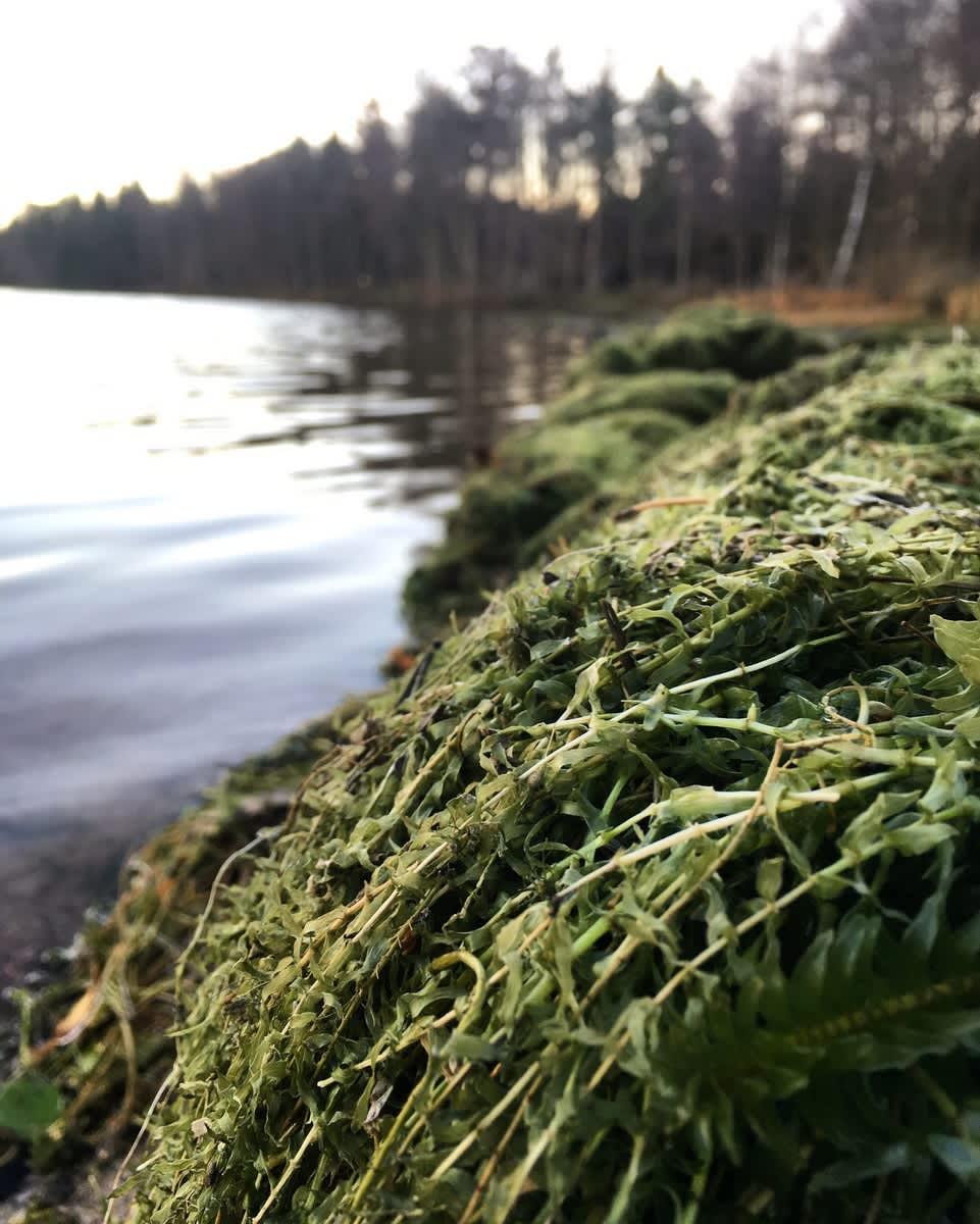 Vesiruttoa kasoissa Littoistenjärven rannalla.